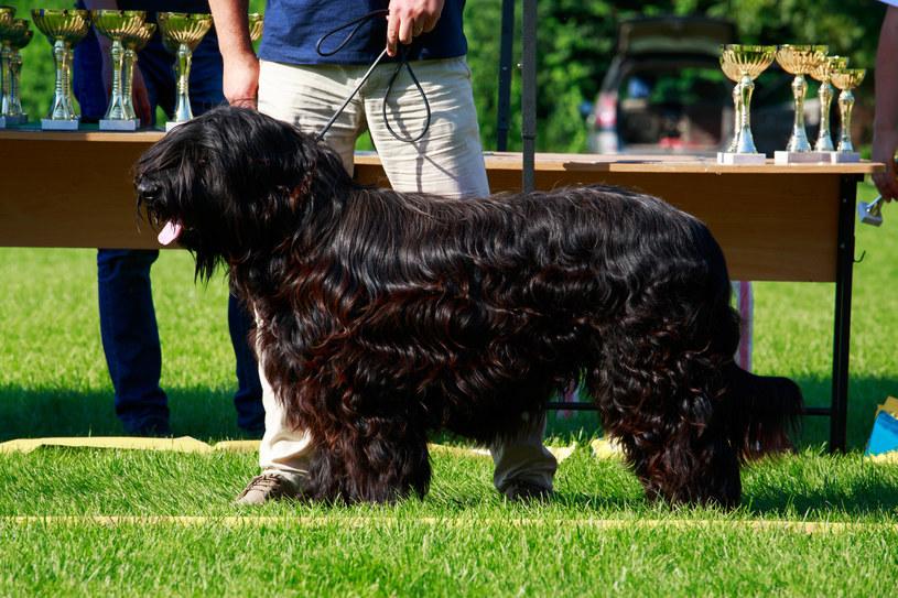 U psów rasy beauceron i briard podwójne wilcze pazury należą do cech wzorcowych /123RF/PICSEL