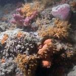 U wybrzeży Włoch zidentyfikowano pierwszą rafę koralową