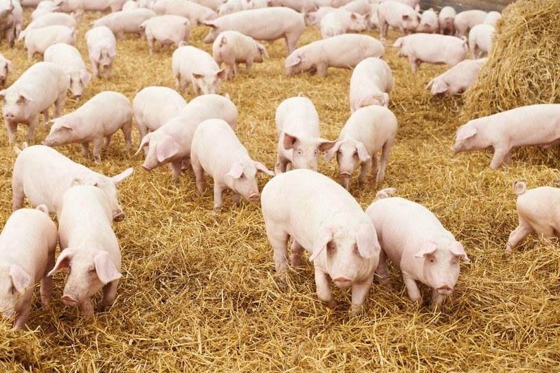 U zwierząt na Podlasiu wykryto afrykański pomór świń (zdj. archiwum) /123RF/PICSEL