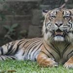 Ucieczka tygrysów z zoo. Zginął jeden z pracowników ogrodu