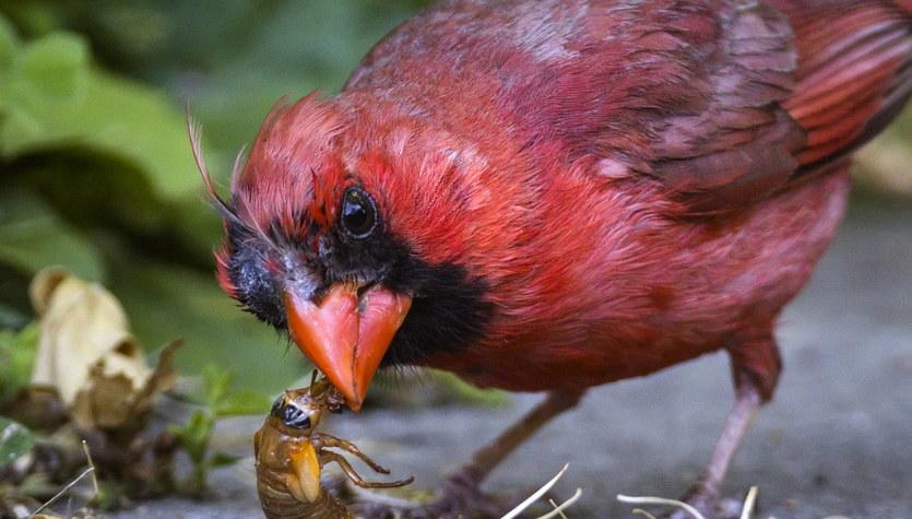 Uczta dla ptactwa i gryzoni. Miliardy cykad wyszły na powierzchnię