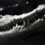 Udaremniono przemyt 400 zagrożonych krokodyli