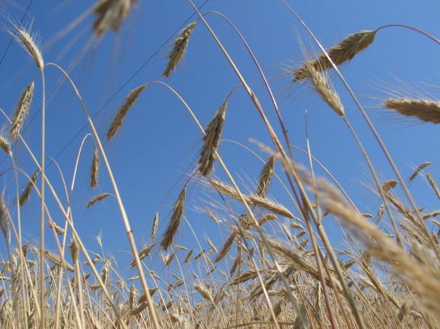 UE wspiera Ukrainę kosztem polskiego rolnictwa? /Krzysztof Kot /RMF FM