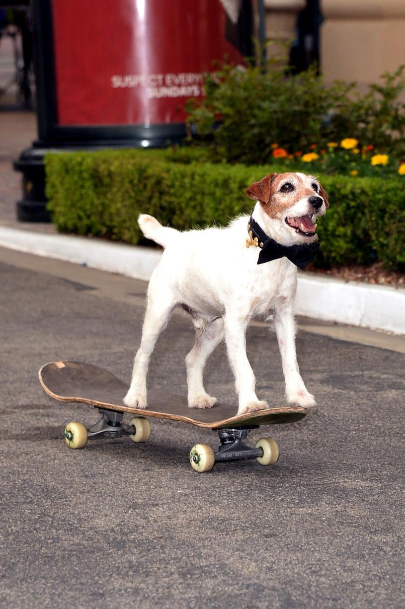 """Uggie potrafił  jeździć na """"desce"""" /Jason Merritt /Getty Images"""