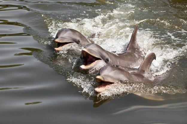 Ukraina szkoli delfiny bojowe, a co na to obrońcy praw zwierząt? /123RF/PICSEL