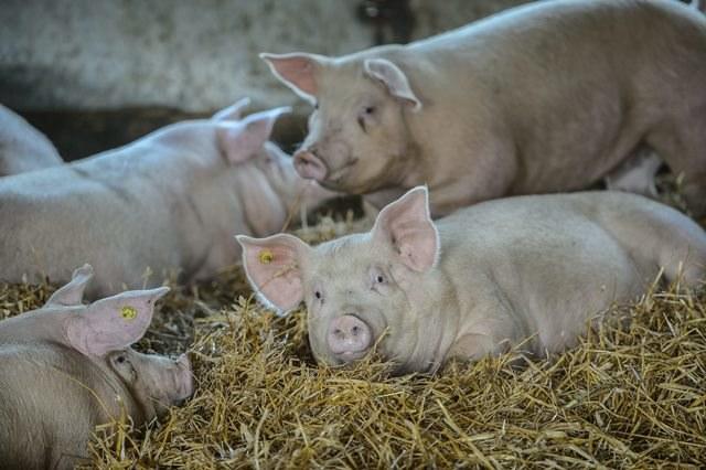 Ukraińcy chcą kupować polskie świnie /Wojciech Pacewicz /PAP