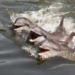 Ukraińska armia szkoli bojowe delfiny