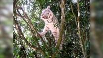 Ulubioną zabawą tego tygrysa jest wchodzenie na drzewa