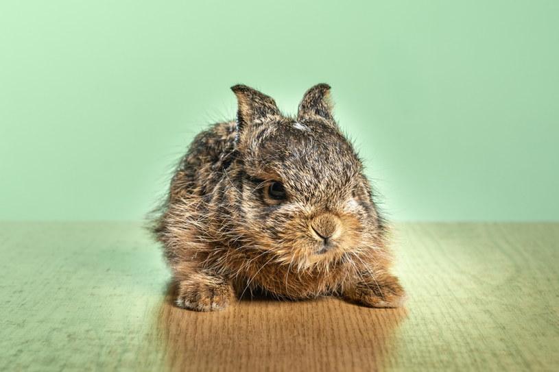 Umiejętne odczytywanie potrzeb królika bez wątpienia ułatwi nam życie /123RF/PICSEL