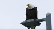 Unalaska: Miasto, którym rządzą orły
