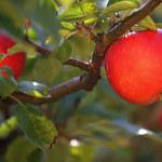 Unia Owocowa bije na alarm zagrożone jabłka i gruszki w całej UE