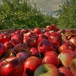 Unia Owocowa: Rynek jabłek bez zapasów!