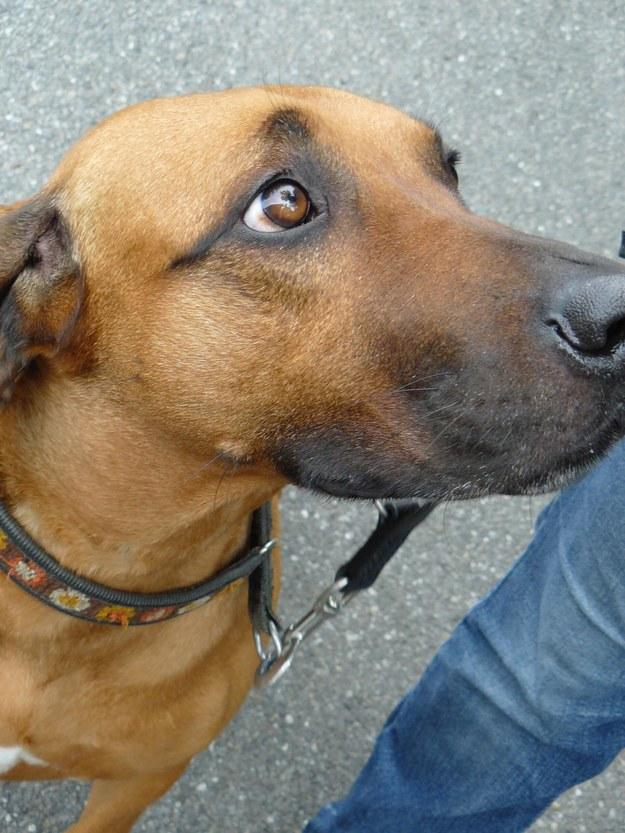 """Uniesienie brwi sprawia, że oczy psa wydają się większe, a jego """"smutna"""" mina budzi w nas instynkt opiekuńczy /University of Portsmouth /Materiały prasowe"""