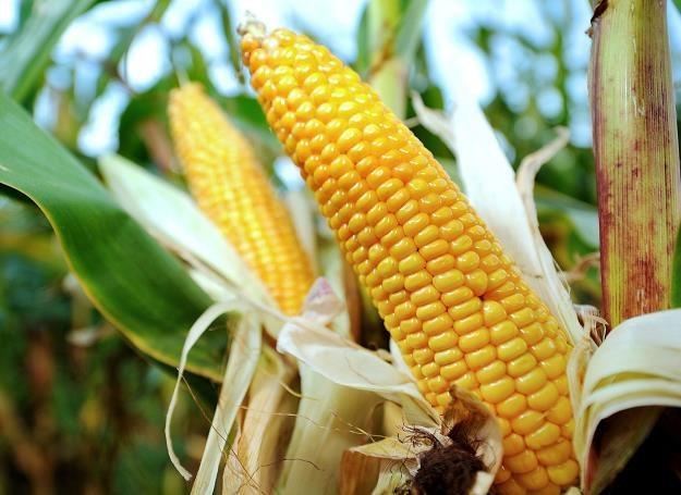 Unijny rynek dopuszcza uprawy i obrót GMO /AFP