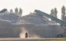 Uprawa bawełny. Rolnicy pracują za głodowe pensje