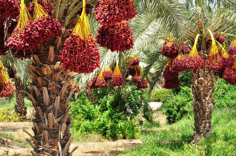 Uprawa palm daktylowych /123RF/PICSEL