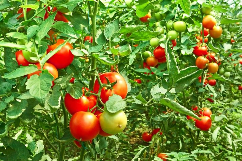 Uprawy pomidorów często atakują choroby grzybowe /123RF/PICSEL