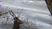 Uratowali życie jeleniom, pod którym załamał się lód
