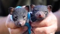 Uratowane diabły tasmańskie nabierają sił