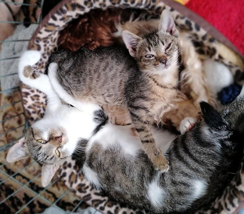 """Uratowany Kiwi ze swoją mamą, który wraz z innymi kotkami bierze udział w akcji """"Mruczek sam nie poprosi o pomoc"""" /archiwum prywatne"""