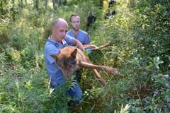 Uratowany wilk trafił do kliniki dla zwierząt; został wydobyty ze studni