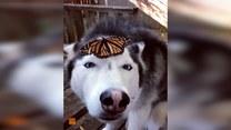 Urocza reakcja husky'ego na motyla, który usiadł mu na nosie