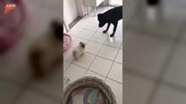 Urocza walka szpica z rottweilerem