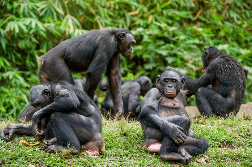 Urodzone na wolności białe szympansiątko zabili członkowie stada /123RF/PICSEL