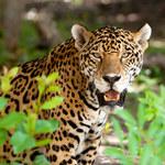 USA: Jaguar zaatakował turystę w zoo