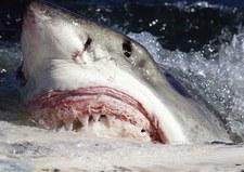USA: Ogromne żarłacze białe czają się na Wschodnim Wybrzeżu