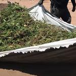 USA: Policja zlikwidowała gigantyczne plantacje marihuany