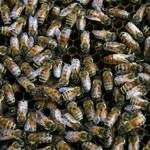 USA: Zabójcze pszczoły
