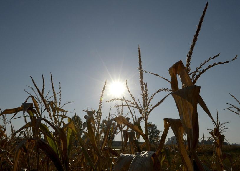 Uschnięta kukurydza na polach w okolicach Dębna na Podkarpaciu /Darek Delmanowicz /PAP