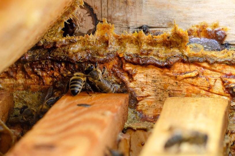 Uszczelnianie ula propolisem /©123RF/PICSEL