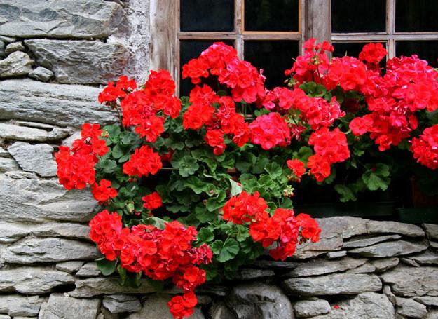 Uszczykiwanie nowych pędów sprawia, że roślina ładniej się krzewi /123RF/PICSEL