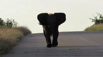 Uszy szeroko, trąba wysoko i do boju! Mały słoń w akcji