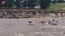 Utknęły na środku rzeki. Konie w tarapatach