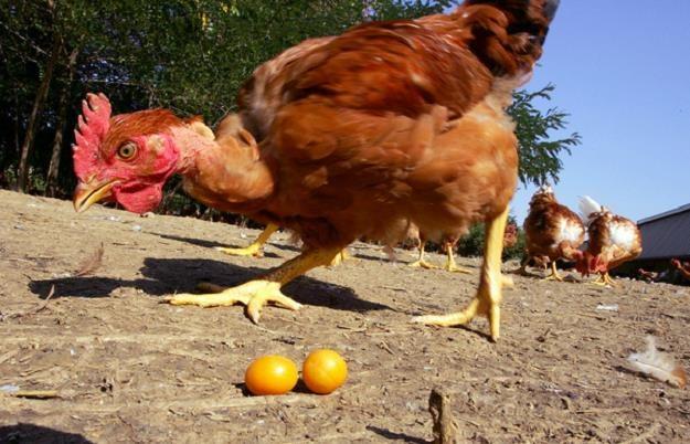 Uwaga na jaja od kur z wolnego wybiegu /