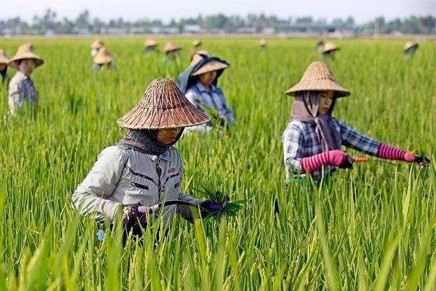 Uwaga na ryż z Wietnamu /AFP