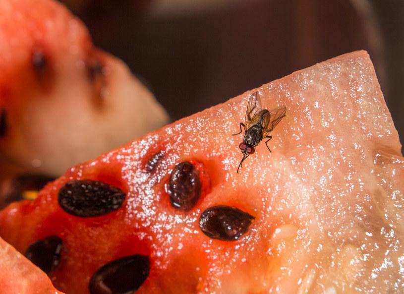 Uważaj na muchy! Mogą przenosić bakterie, które skutkują zatruciem /123RF/PICSEL