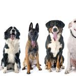 """Uważaj na te rasy psów. Wyrosną z nich """"psie olbrzymy"""""""