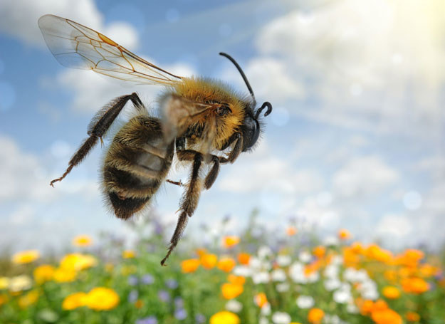 Użądlenie pszczoły może być bardzo niebezpieczne /123RF/PICSEL