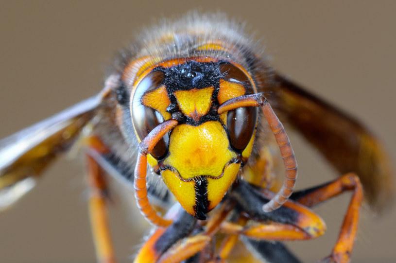 Vespa mandarinia /123RF/PICSEL