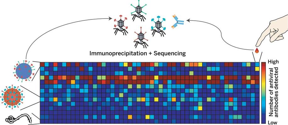 VirScan na podstawie badania kropli krwi odkrywa przeciwciała wirusów, z którymi miliśmy kontakt /G. Xu et al./Science 2015 /Materiały prasowe