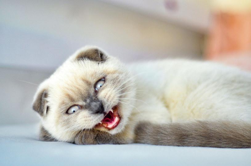 W 2021 odnotowano przypadek wścieklizny u kota domowego /INTERIA.PL