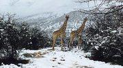 W Afryce spadł... śnieg. Miejscami nawet 20 cm białego puchu