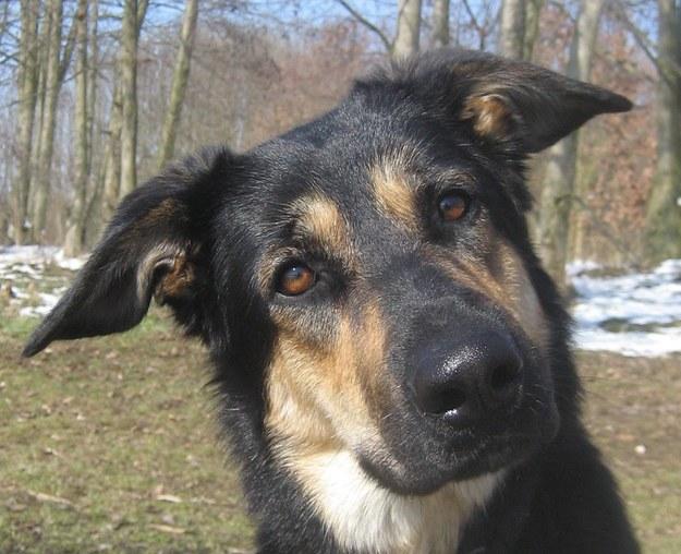 W badaniach wykorzystano zdjęcia psów przypominających wilki z postawionymi uszami /Juliane Bräuer /Materiały prasowe