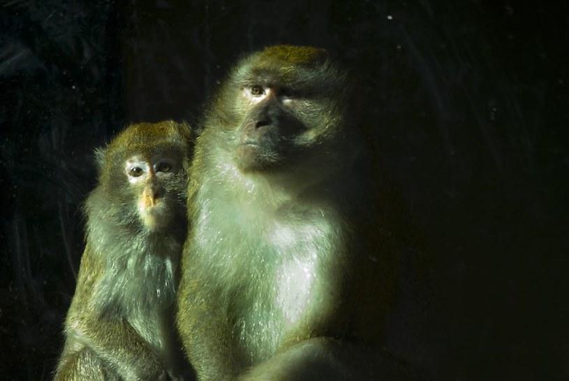 W Chinach stworzono autystyczne małpy. Dzięki temu uda się stworzyć skuteczną terapię leczącą ludzi? /123RF/PICSEL