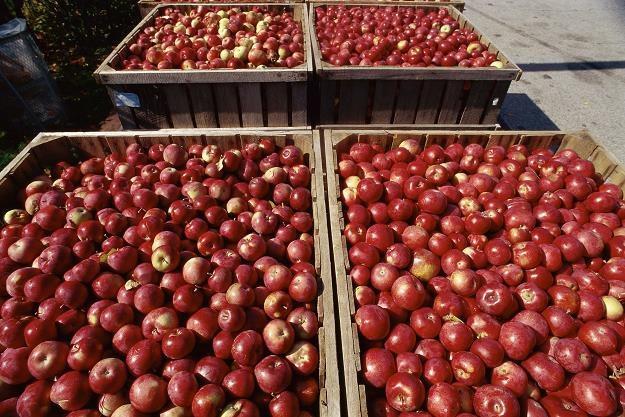 W ciągu ostatnich 10 lat produkcja jabłek w Polsce skoczyła z 2,5 mln ton do 3,5 mln ton /©123RF/PICSEL