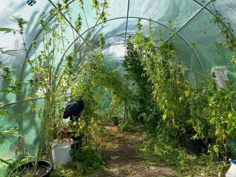 W foliowej szklarni uprawiał pomidory i krzewy konopi indyjskich (Źródło: KMP w Lesznie) /Policja